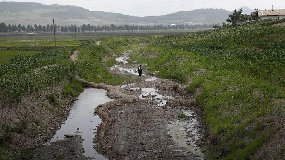 En kvinna går över en torrlagd flodbädd i ett nordkoreanskt risfält.