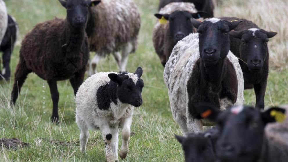 Lamm och får i en hage