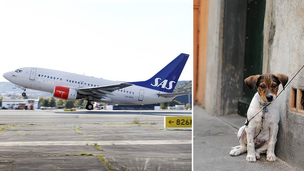 Flygplan som lyfter. Hund som sitter kopplad vid väggen.
