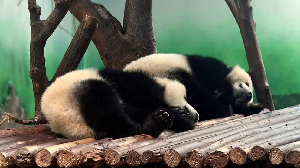 Pandaungarna Yuanman and Meilan vilar på anläggningen i Chengdu