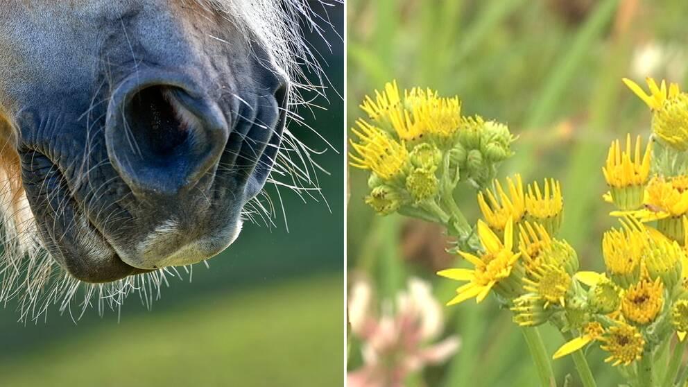 I takt med att det blir färre betesdjur får den gula blomman bättre förutsättningar att spridas.