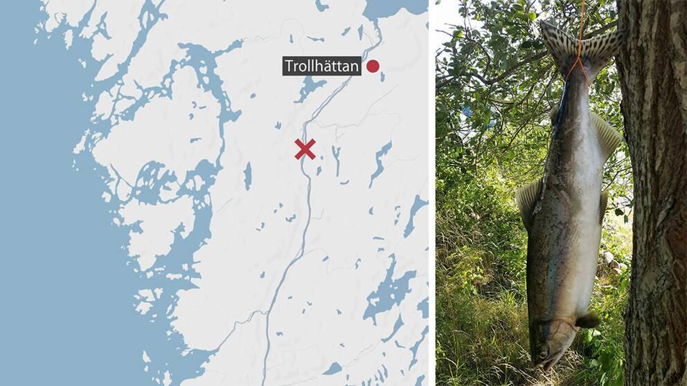 Här i Göta älv, vid Lilla Edet, har puckellaxarna fångats.