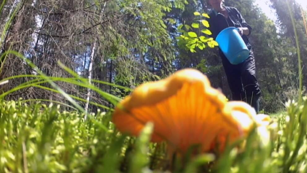 En kantarell i förgrunden och en svampplockare som går med hink mot svampen.