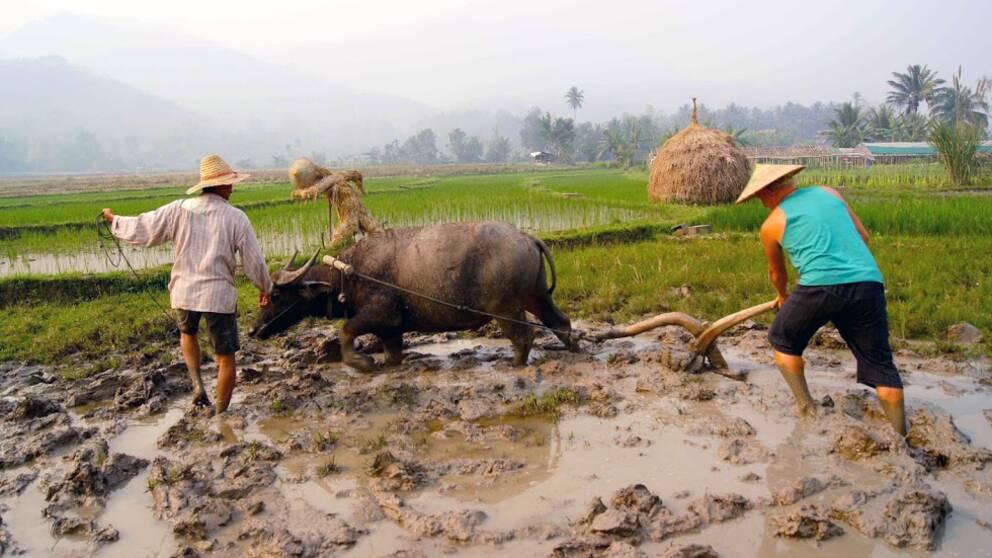 Patrik Thunberg testar att ploga med vattenbuffel i Laos.