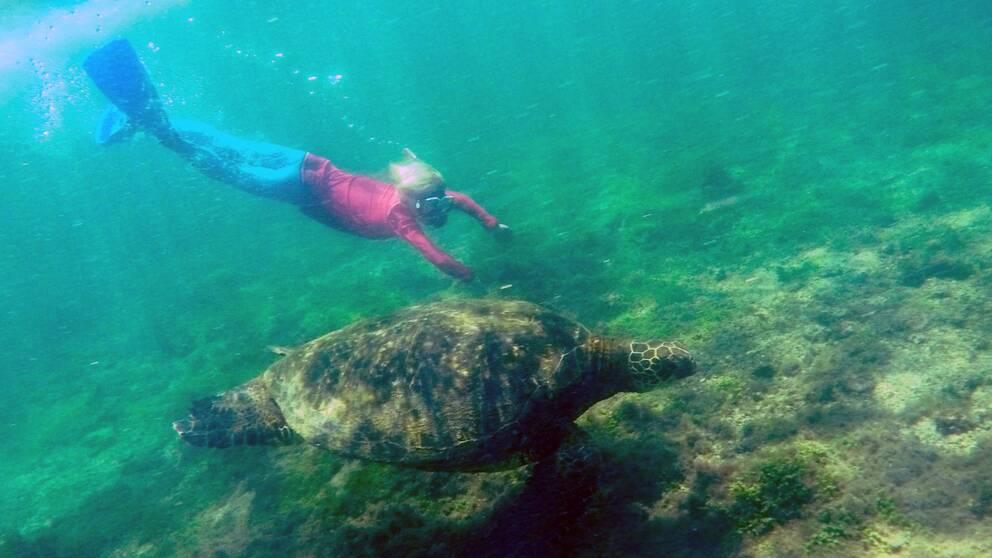 Milo Thunberg dyker med en havssköldpadda på Galapagosöarna