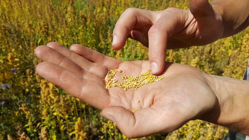 Quinoan har aldrig odlats så mycket i Sverige som nu.