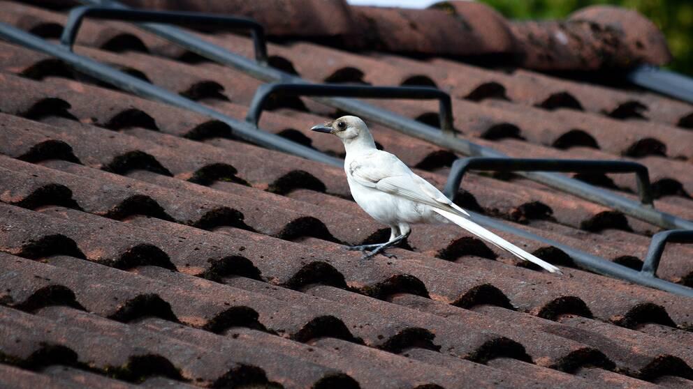 En vit fågel sitter på ett tak med röda takpannor.