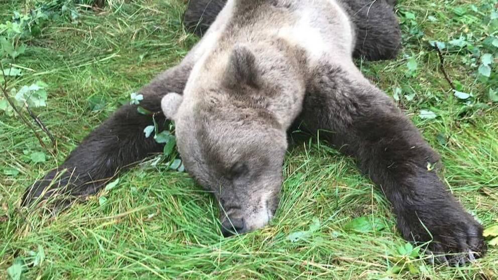 Skjuten björn ligger i gräset i Haverö.