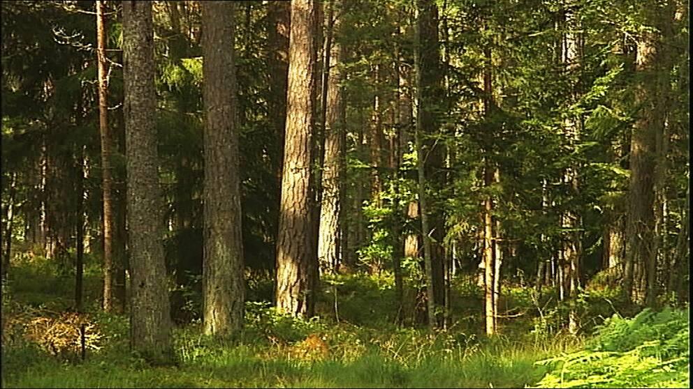 2a47f666 Skog. Träd med bark blandas med högt grönt gräs och några mindre barrträd