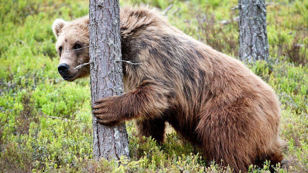 Björn i Orsa djurpark.