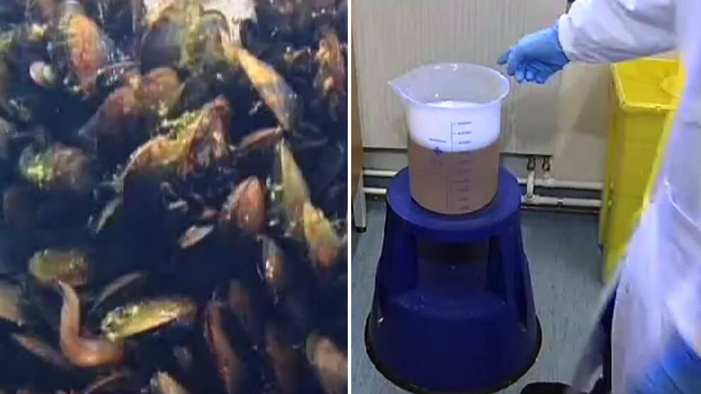 Så här blir musslor till lim.