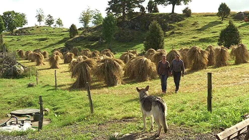 böjande fält med höstackar och ett par som kommer mot kameran, en hund längst fram