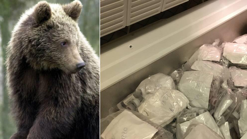 En björn och en frys som innehåller prover med björnspillning