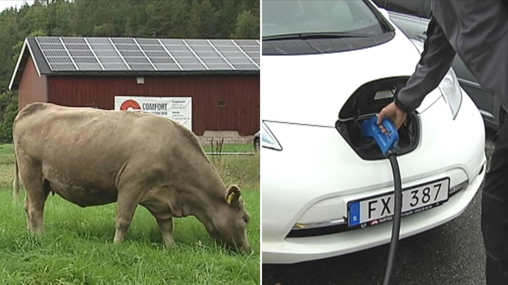 Ett gäng tekniknördar med miljöintresse har gjort att Orust har blivit den kommun i landet som har flest snabbladdningsstationer för elbilar. Men elbilar är inte allt de sysslar med. Bakom idisslande kossor blänker resultatet av deras arbete på ladugårdstaken.