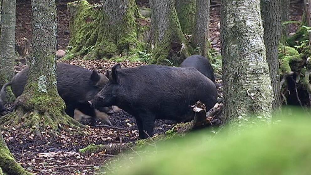 några vildsvin i skogen