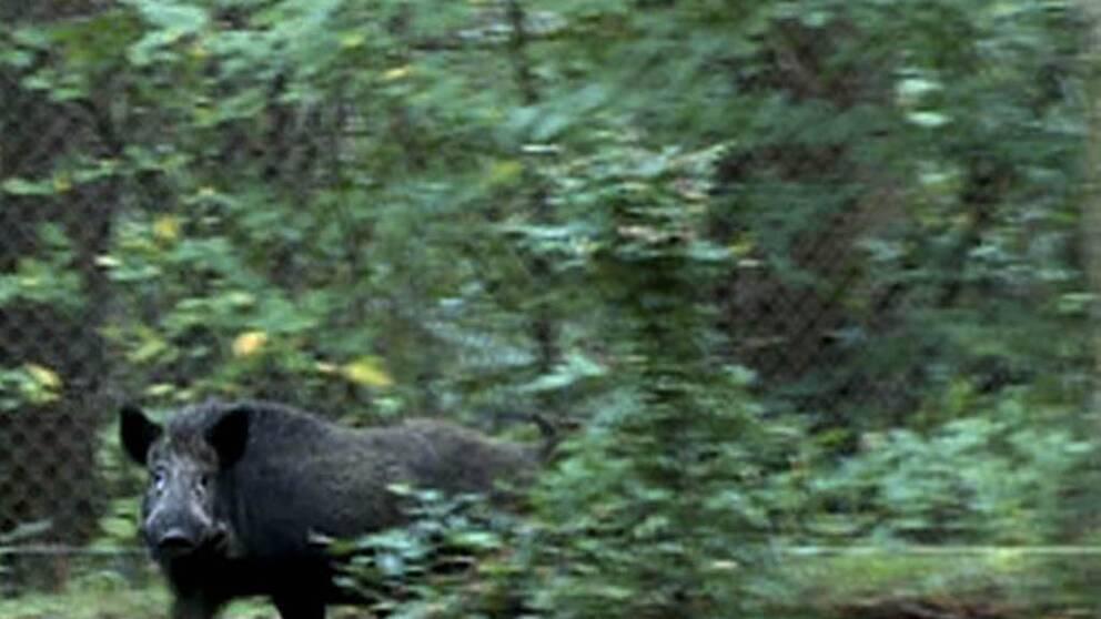 Rekordhöga cesiumhalter i vildsvin