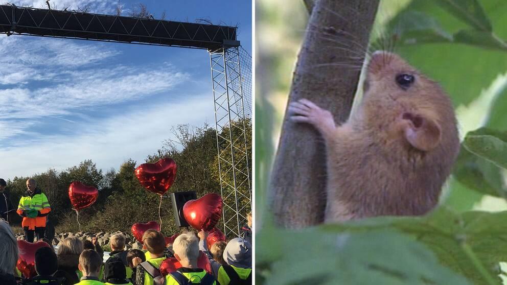 Landsvägen är en dödsfälla för hasselmusen. Bron är den enda i sitt slag för hasselmöss i Sverige.