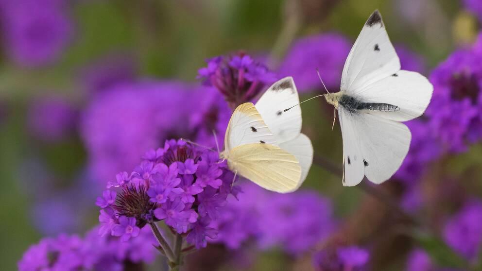 Fjärilar på en blomma