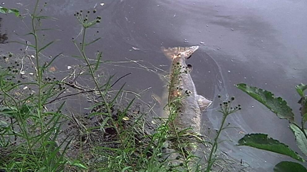 Många laxartade fiskar på norra halvklotet är drabbade av vitaminbrist.