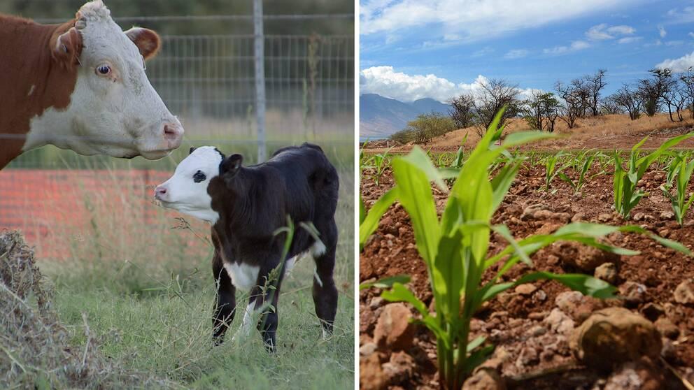 Farre radda for genmodifierade livsmedel