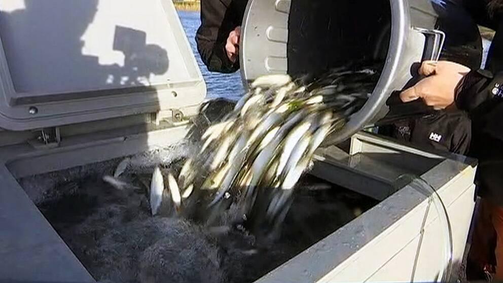 Fiskar töms från en tunna ned i en stor låda
