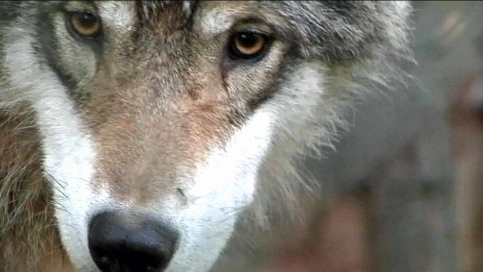 närbild av ansiktet på en varg