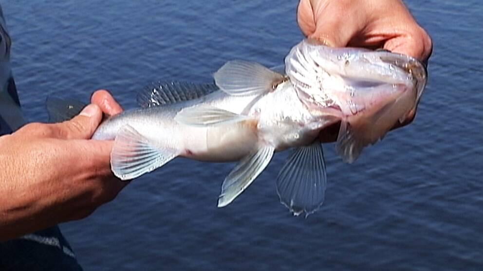 Tjuvfisket har varit ett omfattande problem i Byälven