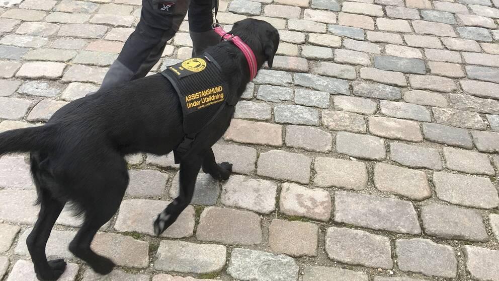 En assistanshund under utbildning som går med sin brukare på stan.
