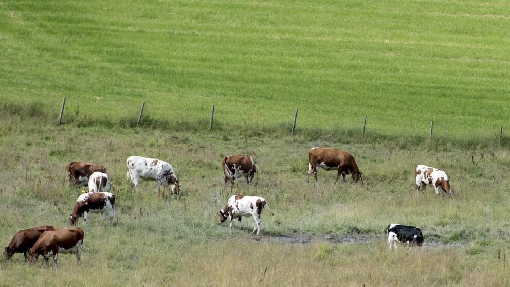 Kor som betar i en hage