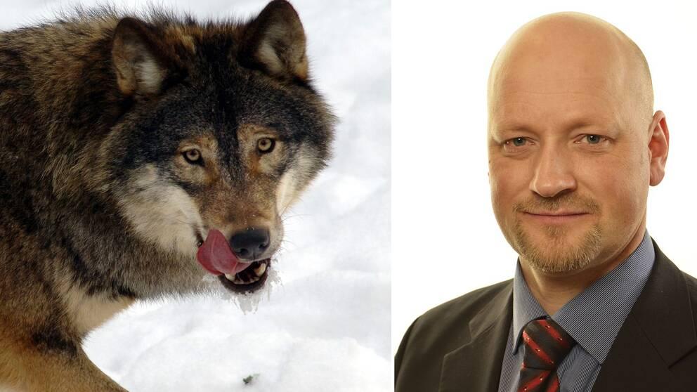 En varg och Daniel Bäckström