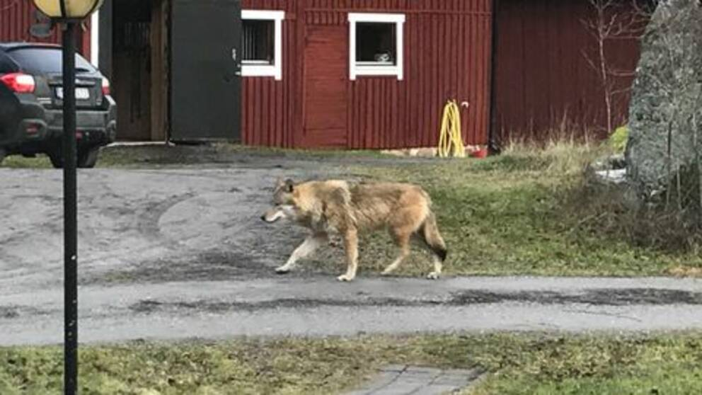 En privatperson fotograferade en varg i Åloppe utanför Örsundsbro under helgen.
