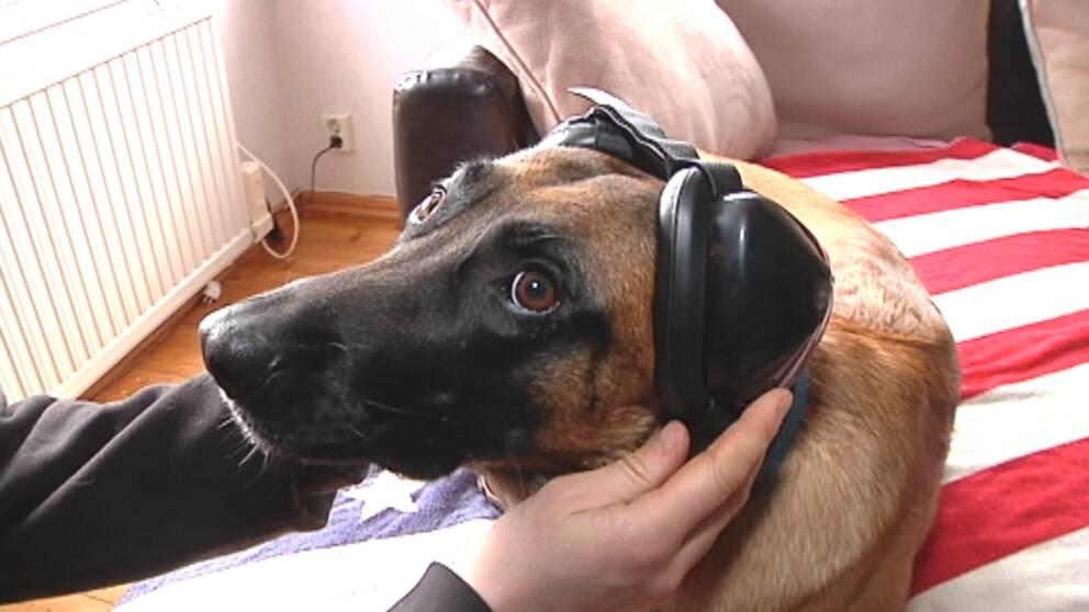 Att förberedda hundar för nyårsafton kan ta lång tid, men det finns vissa snabba tips att ta till.