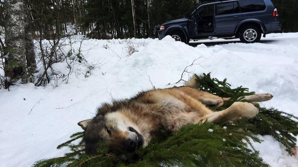 En varg ligger på en bädd av granris. En bil står i bakgrunden
