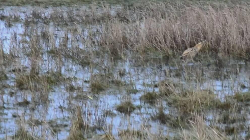 Den utsvultna rördrommen som hittats utanför Luleå har nu kryat på sig och fått vård hos Stockholm vildfågel rehab och har släppts i ett naturreservat i Skåne.