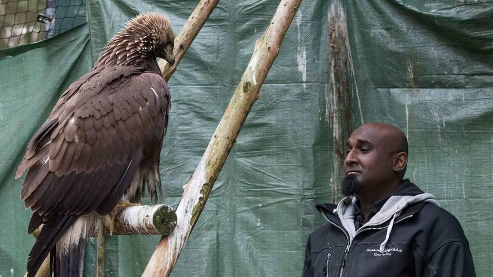 Victor Persson driver ett ideellt center för skadade vilda fåglar. En kungsörn flygtränas här efter en vingskada.