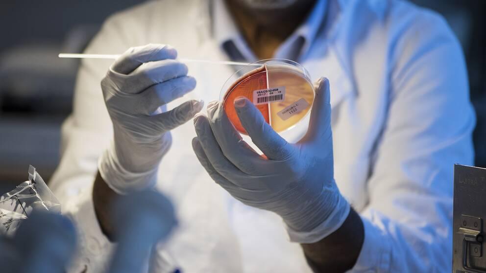 En odling av resistenta bakterier undersöks på Folkhälsomyndighetens smittskyddslabb i Stockholm. Arkivbild.