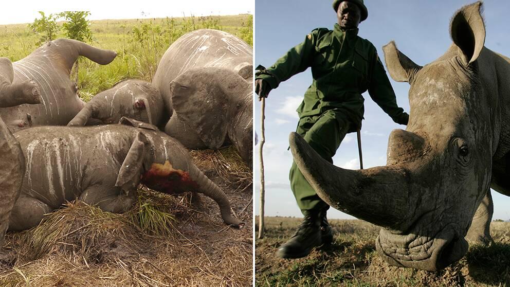 Tjuvjakten på elefanter och noshörningar är värre än någonsin.