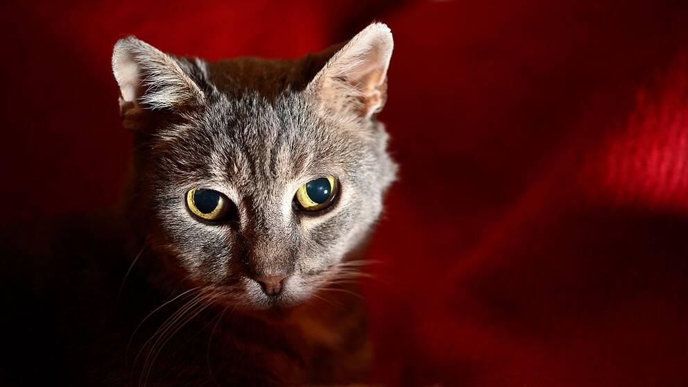 Katt i närbild, med röd bakgrund.