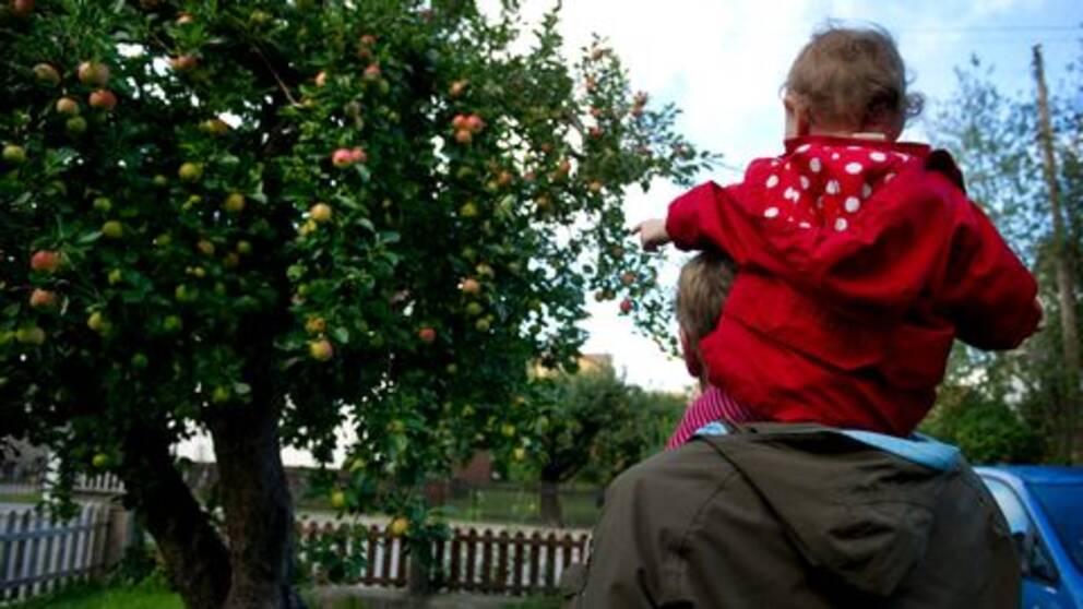 Pappa med barn på axlarna vid äppelträd