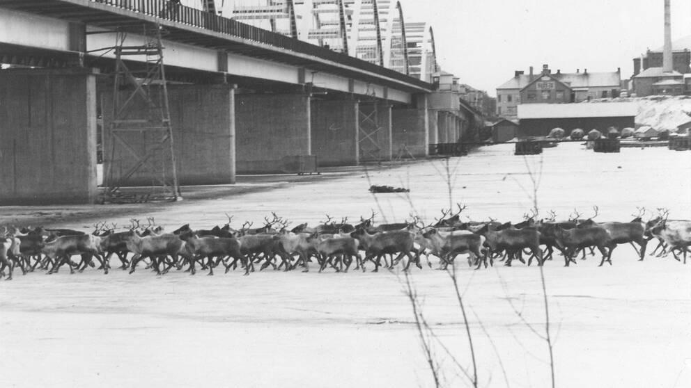 Så här såg det ut senast en renhjord drevs genom Luleå för 50 år sedan.