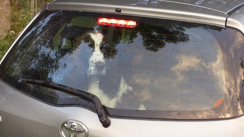 En hund som tittar ut genom bakluckan i en bil.