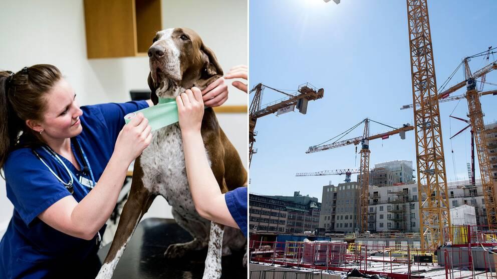 Arkivbild på djursjukvårdaren Carolina Sandell och hunden Uno (vänster). (Höger) Byggarbetsplats.