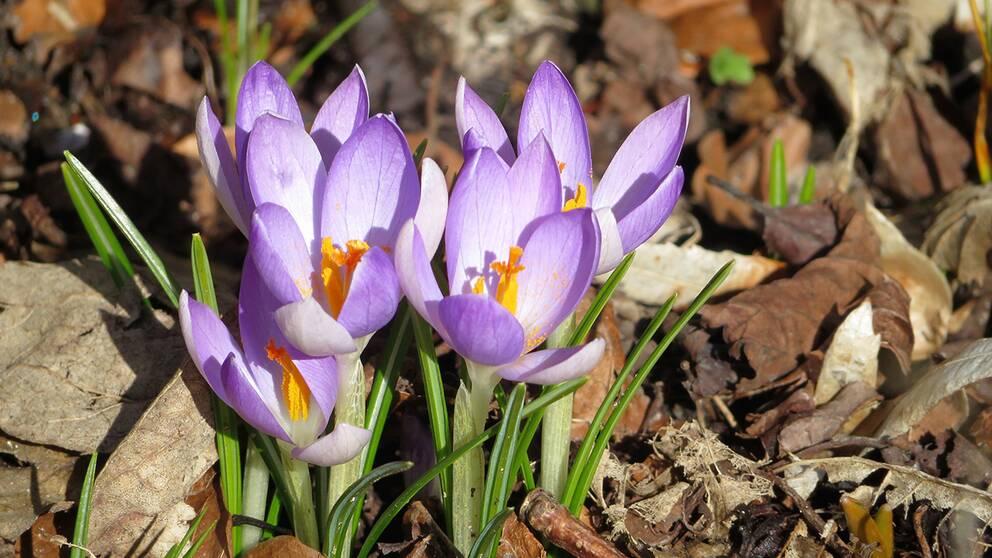 Här nere i Skåne hade vi inte tänkt oss mer snö men när vi vaknade i morse var marken åter vitMen sen kom solen och snön försvann och nu är det 4,6 grader varmt och blå himmel och små lätta molntussarVåren är kommen igenKände att det var ett måste att ta en promenad i vår vackra Alnarpspark utanför LommaVar på jakt efter Krokusar som brukar blomma överallt annars vid denna årstidEfter mycket letande hittade jag dessa blåa fina krokusar som lyste så fintÄven Magnolian har nu ganska stora knoppar som sträcker sig mot den blå himlen och det lilla molnet i dag