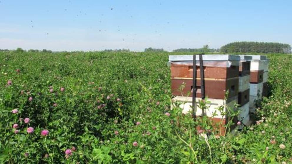 Man kan hyra en andel i en bikupa om man vill främja pollinering och öka skörden av frukt och bär.