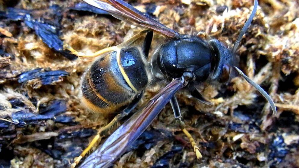 Sammetsgetingen kallas även asiatisk rovgeting och är lika farlig för människan som en vanlig geting.