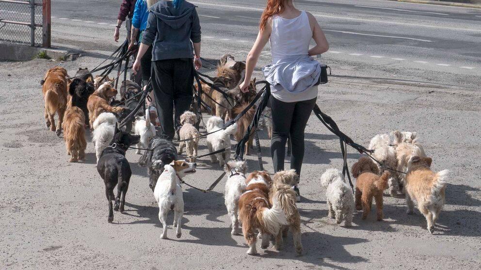 Hunddagis på promenad med många hundar.
