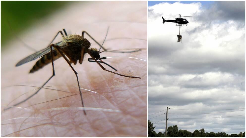 Ett kollage av en mygga och en helikopter med myggbekämpningsmedel.