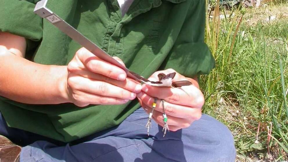 Forskaren Debora Arlt mäter vingen på en ringmärkt stenskvätta.