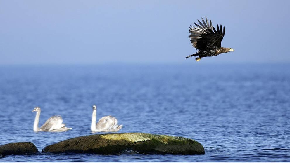 I Sverige ökar rovfåglar som havsörn medan fåglar i jordbrukslandskap minskar, enligt den senaste fågelinventeringen.