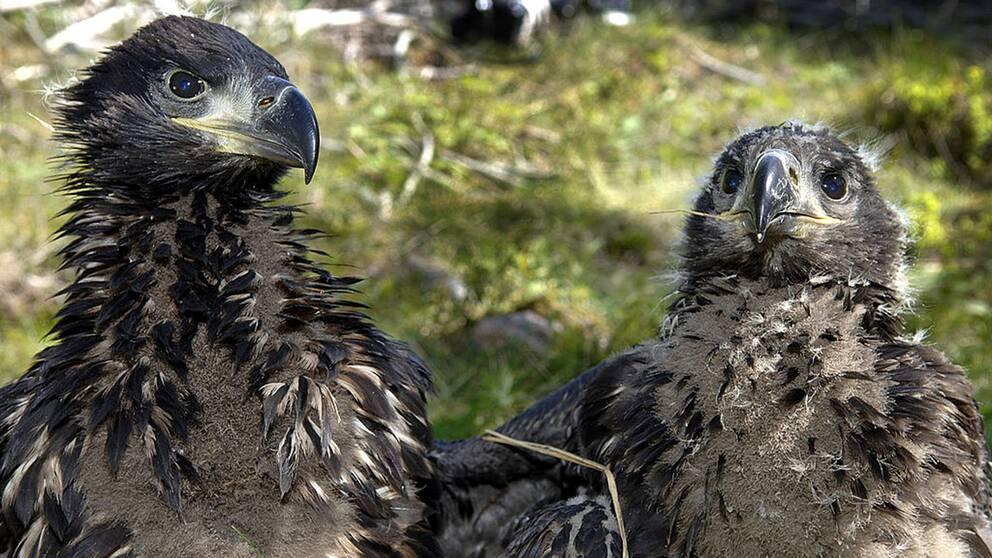 Rovfåglar som havsörnar ökar i antal efter stora insatser då de hotades av miljögifter.